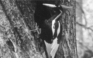 Biến đổi khí hậu khiến chim gõ kiến mỏ ngà trong số 23 loài bị tuyên bố tuyệt chủng
