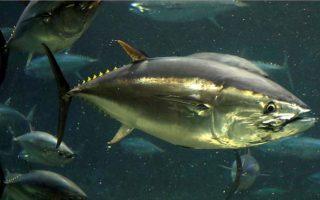 Cá mập suy giảm do biến đổi khí hậu, nhưng quần thể cá ngừ đang phục hồi