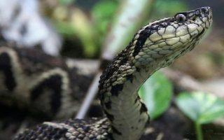 Nghiên cứu: Nọc độc từ rắn có thể được sử dụng để chống lại coronavirus